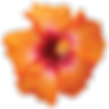 Hibiscus-PNG-HD.png