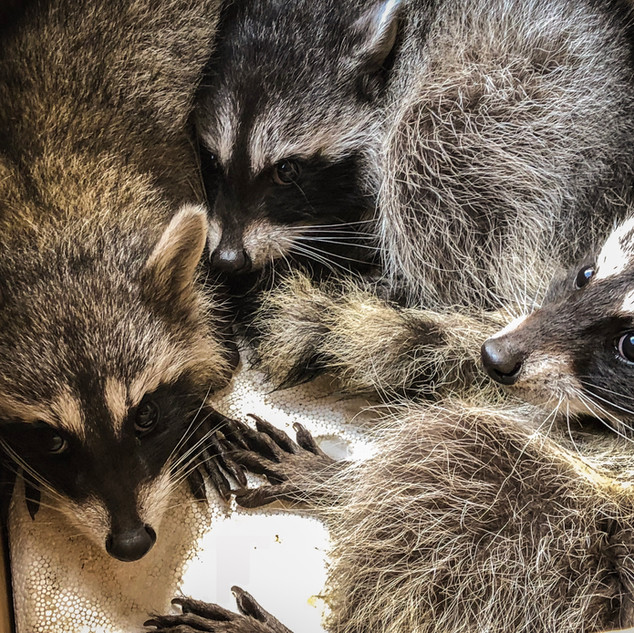 Raccoons on their way to the SW Wildlife Conservation Center