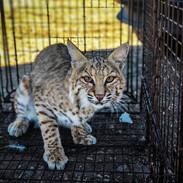 Bobcat Removal in Scottsdale