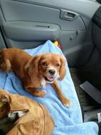 Maple in car.jpg