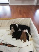 Harlie and pups whelping.jpg