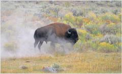 Bison dusting
