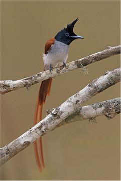 Asian paradise-flycatcher male