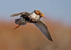 Ruff Flying