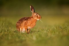European brown hare B0740.jpg