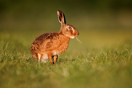 European brown hare B0740.jpg