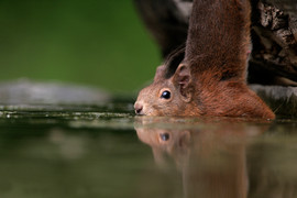 Red squirrel 72612.jpg