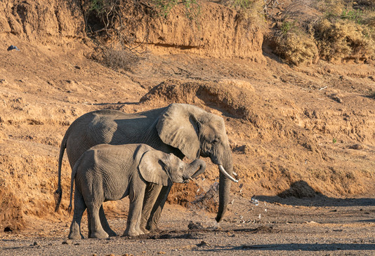 Elephants searching for water