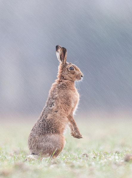 Brown hare in the rain
