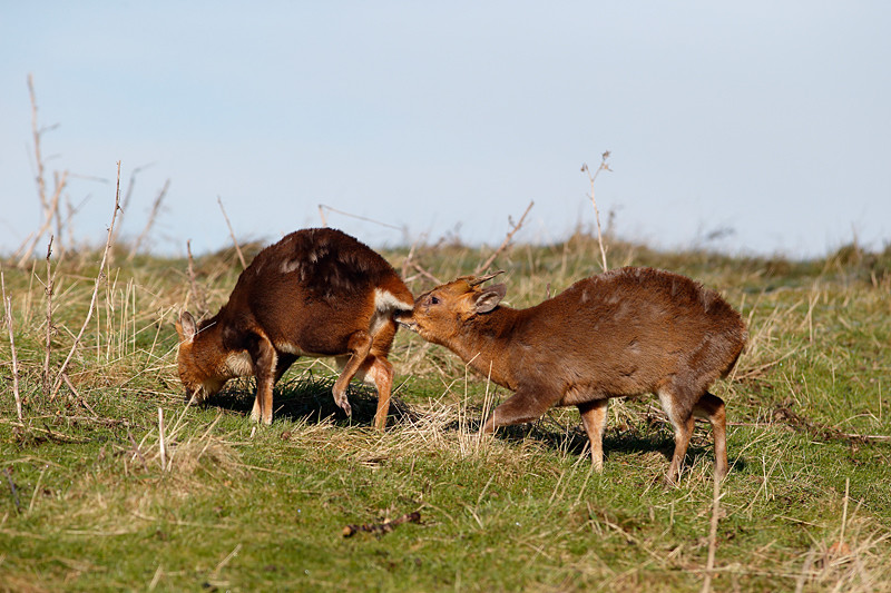 Muntjac, Muntiacus reevesi, two mammals on grass, Warwickshire, February 2013