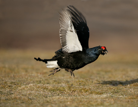 Black grouse 60652.jpg