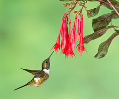 Male Purple-throated Woodstar Hummingbird coming to flower. Ecuador