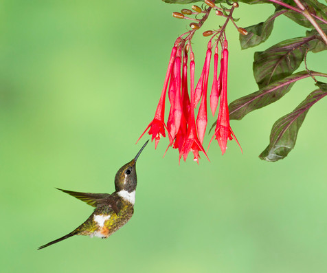 Male Purple-throated Woodstar Hummingbird coming to flower. Ecuador