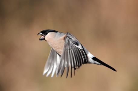 Bullfinch A0834.jpg