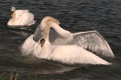 Mute swans fighting