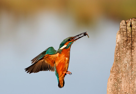 Kingfisher A0475.jpg