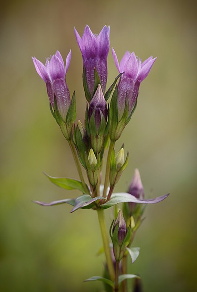 Autumn gentian