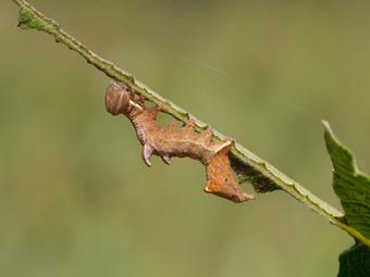 Pebble prominent moth larva