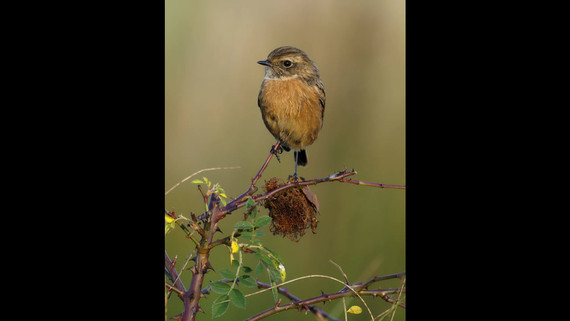 Photographing Stonechats