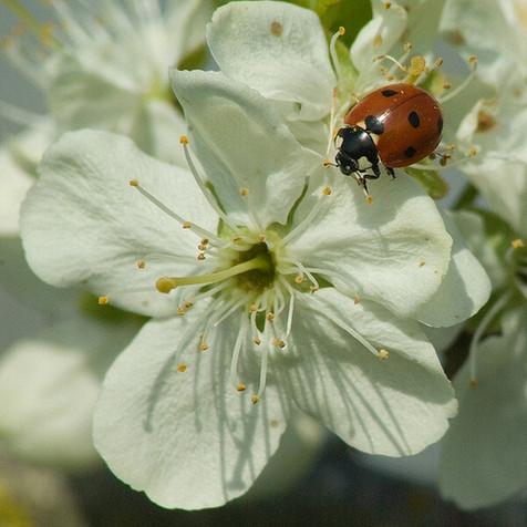 Ladybird on plum blossom