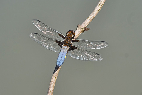 Broad-bodied chaser male.