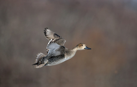 Northern pintail 71165.jpg