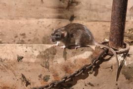Brown rat 91707.jpg