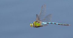Emperor dragonfly male flying