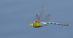 Emperor Dragonfly male flying,New Forest