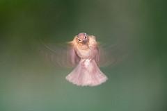 Chiffchaff hovering