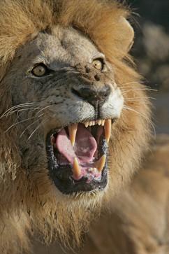 African lion 60213.jpg