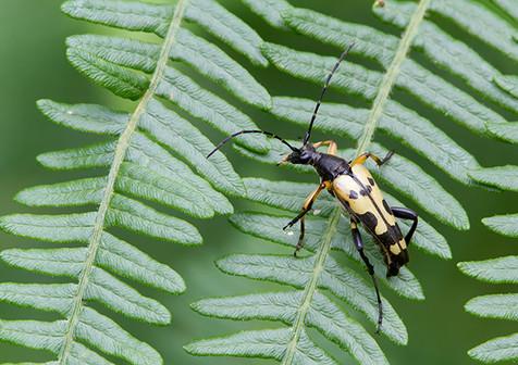 Longhorn beetle, Strangalia maculata