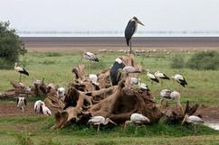 Storks at Manyara pools