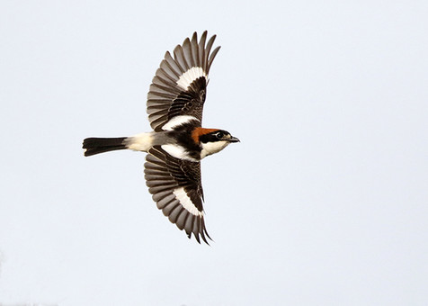 Woodchat shrike in flight