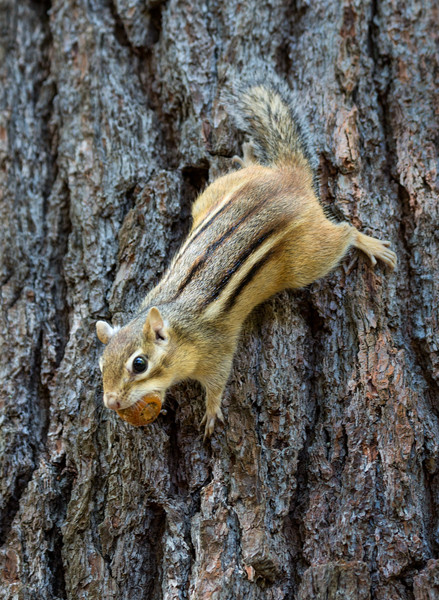 Chipmunk with acorn web