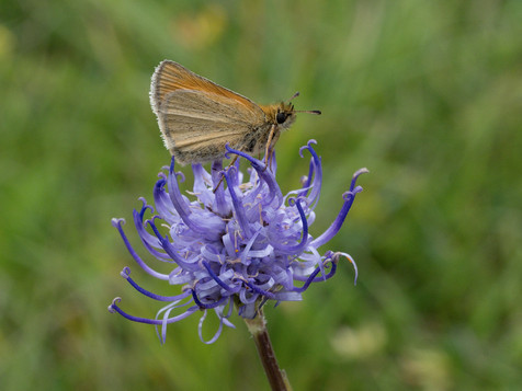 Small skipper on round headed rampion