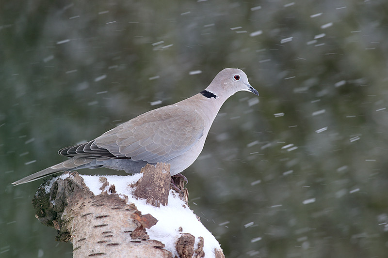 Collared dove D0656