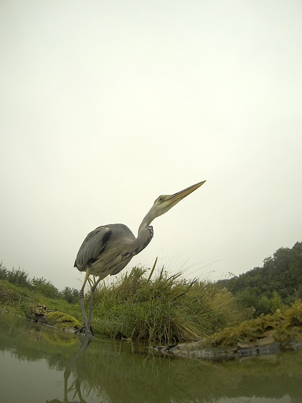 Grey heron, Ardea cinerea, single bird by water, Warwickshire, September 2013