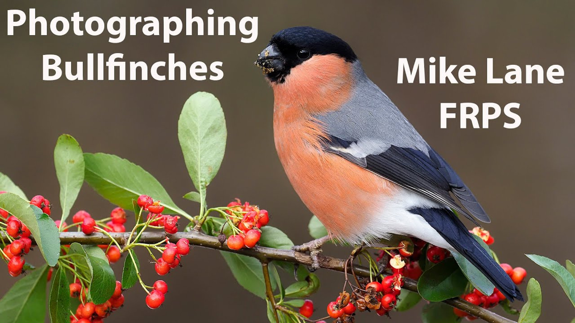 Photographing Bullfinches