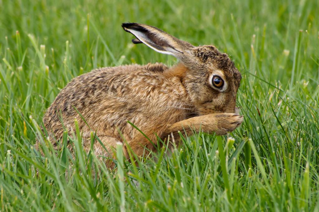 Brown Hare grooming