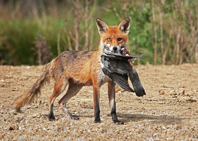 Fox with Pigeon