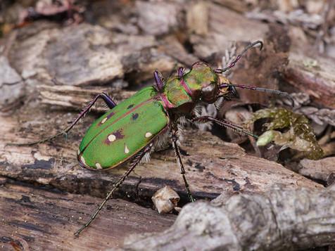 Green-tiger beetle