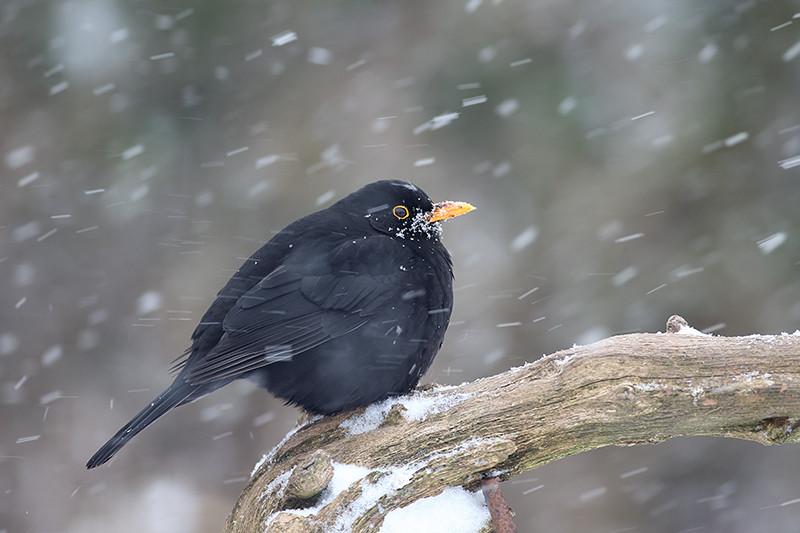 Blackbird D0700