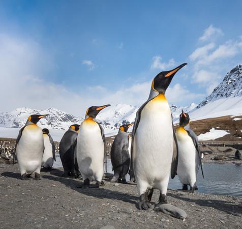 King penquins