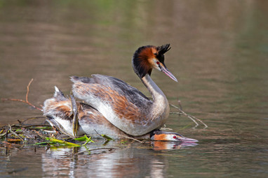 Great-crested grebes copulating