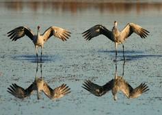 Sandhill cranes t