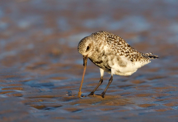 Grey plover with Ragworm