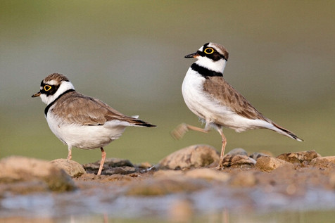 Little-ringed plovers