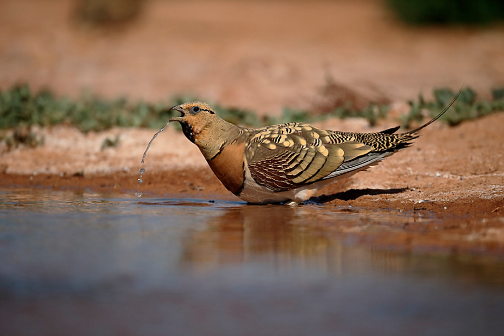 Pin-tailed sandgrouse, Pterocles alchata, Single male by water, Spain, July 2016