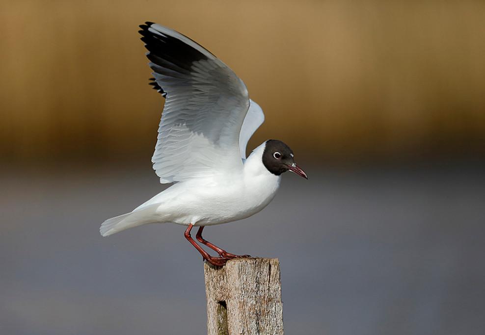 Black-headed gull D0398